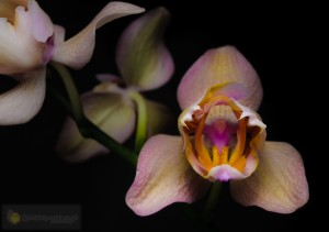 Orchid-148